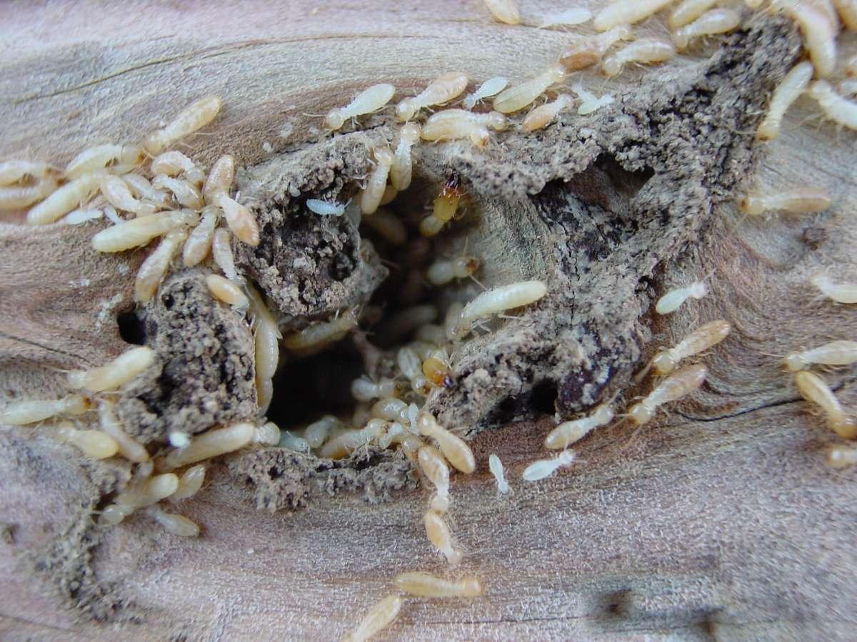 Handy Germain - Traitement Termites - Pays Basque - Landes - Termites en activité